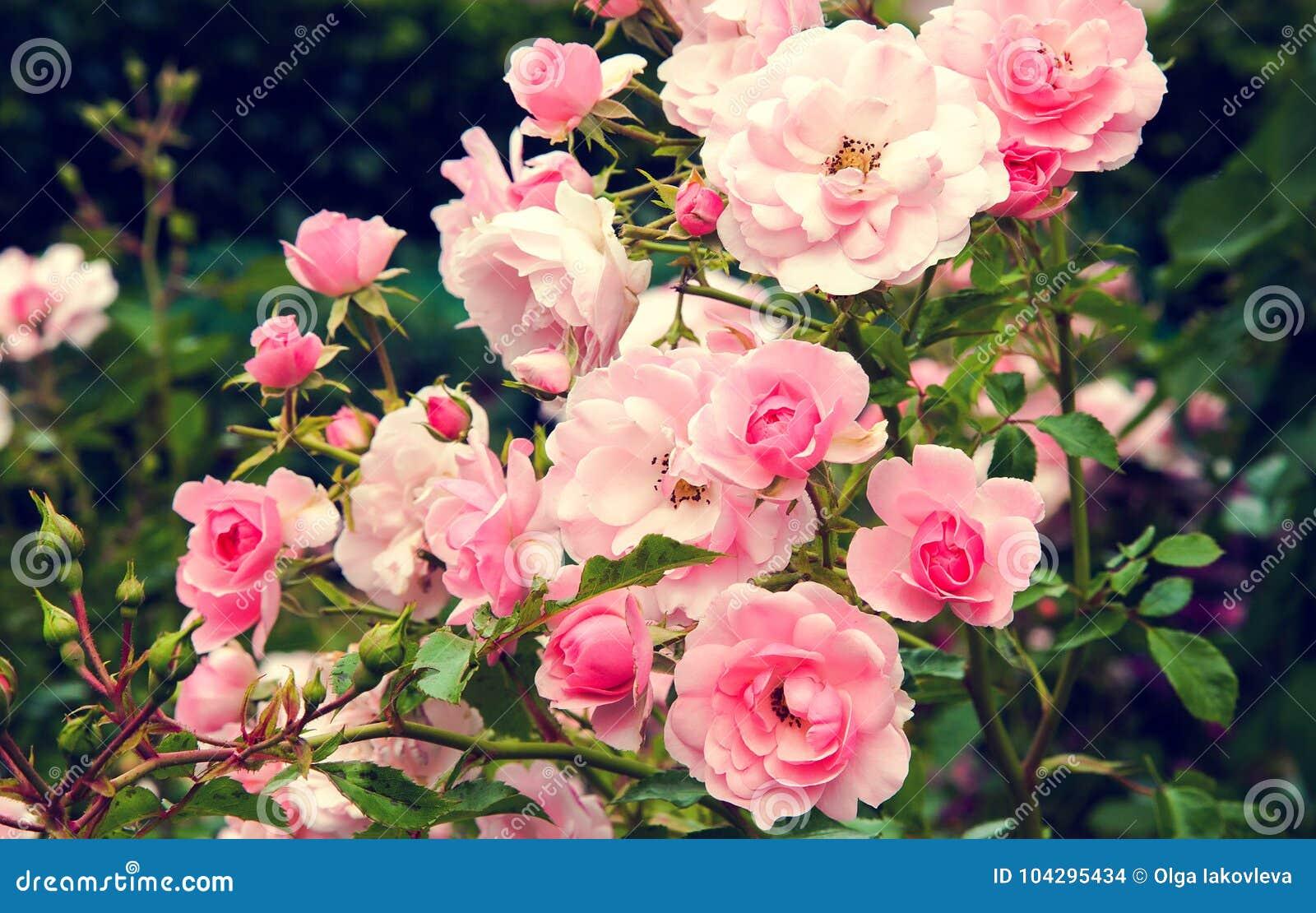 Bush de rosas cor-de-rosa do jardim com folhas verdes