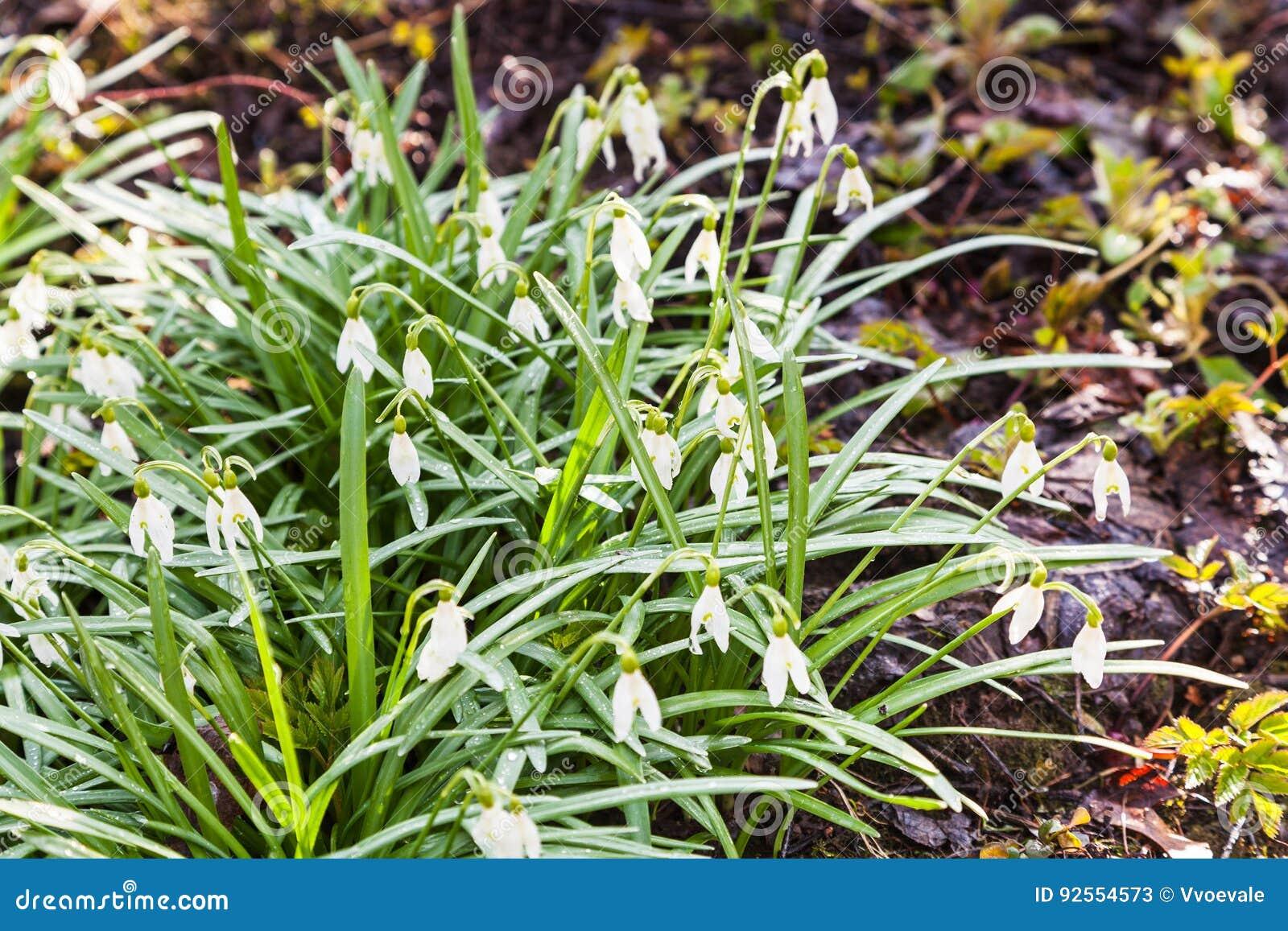 Bush del bucaneve bianco fiorisce su terra bagnata