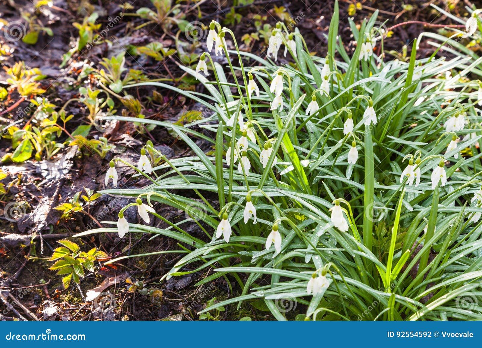 Bush del bucaneve bianco fiorisce su terreno paludoso
