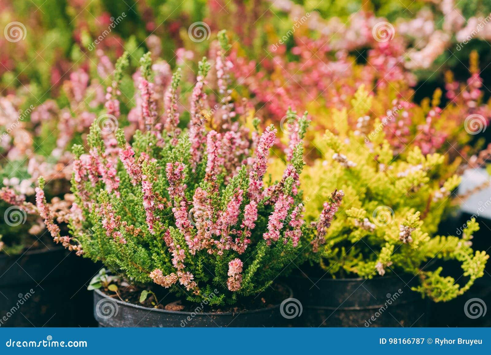 Bush della pianta del calluna con il fiore rosa in vaso nel