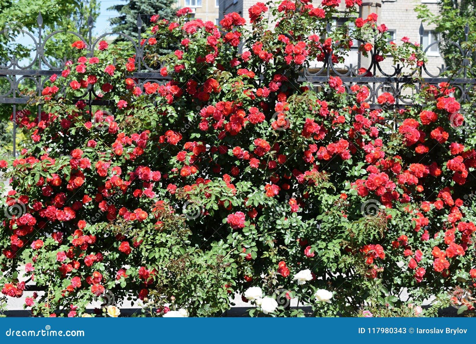 Download Bush delle rose immagine stock. Immagine di background - 117980343