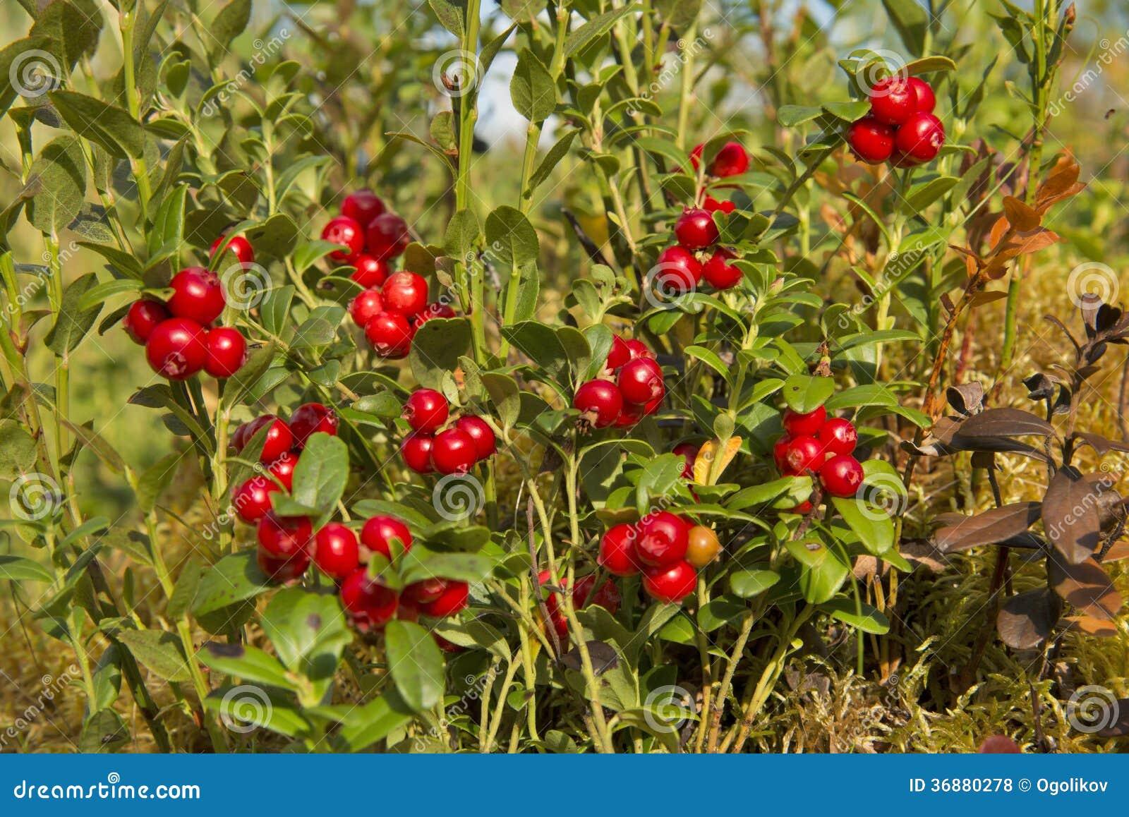 Download Bush Delle Uve Di Monte Selvagge. Fotografia Stock - Immagine di sano, bacca: 36880278