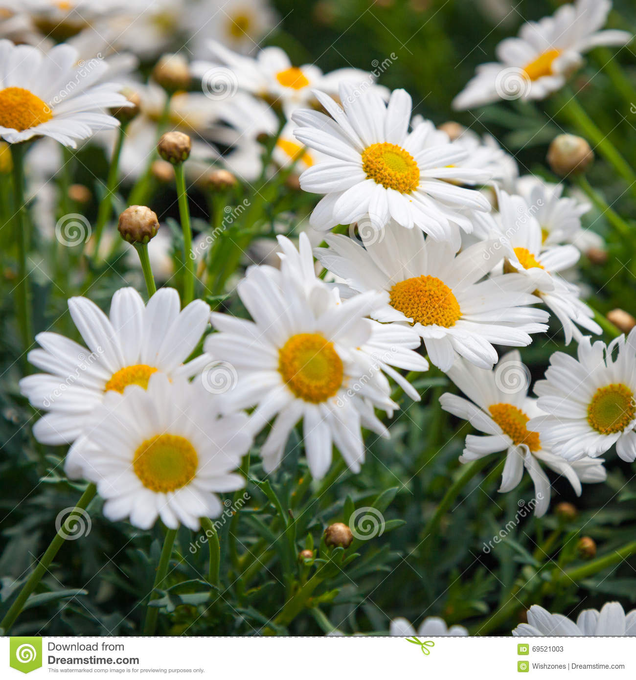 Bush of dog daisy flowers stock image image of daisy 69521003 bush of dog daisy flowers izmirmasajfo Image collections