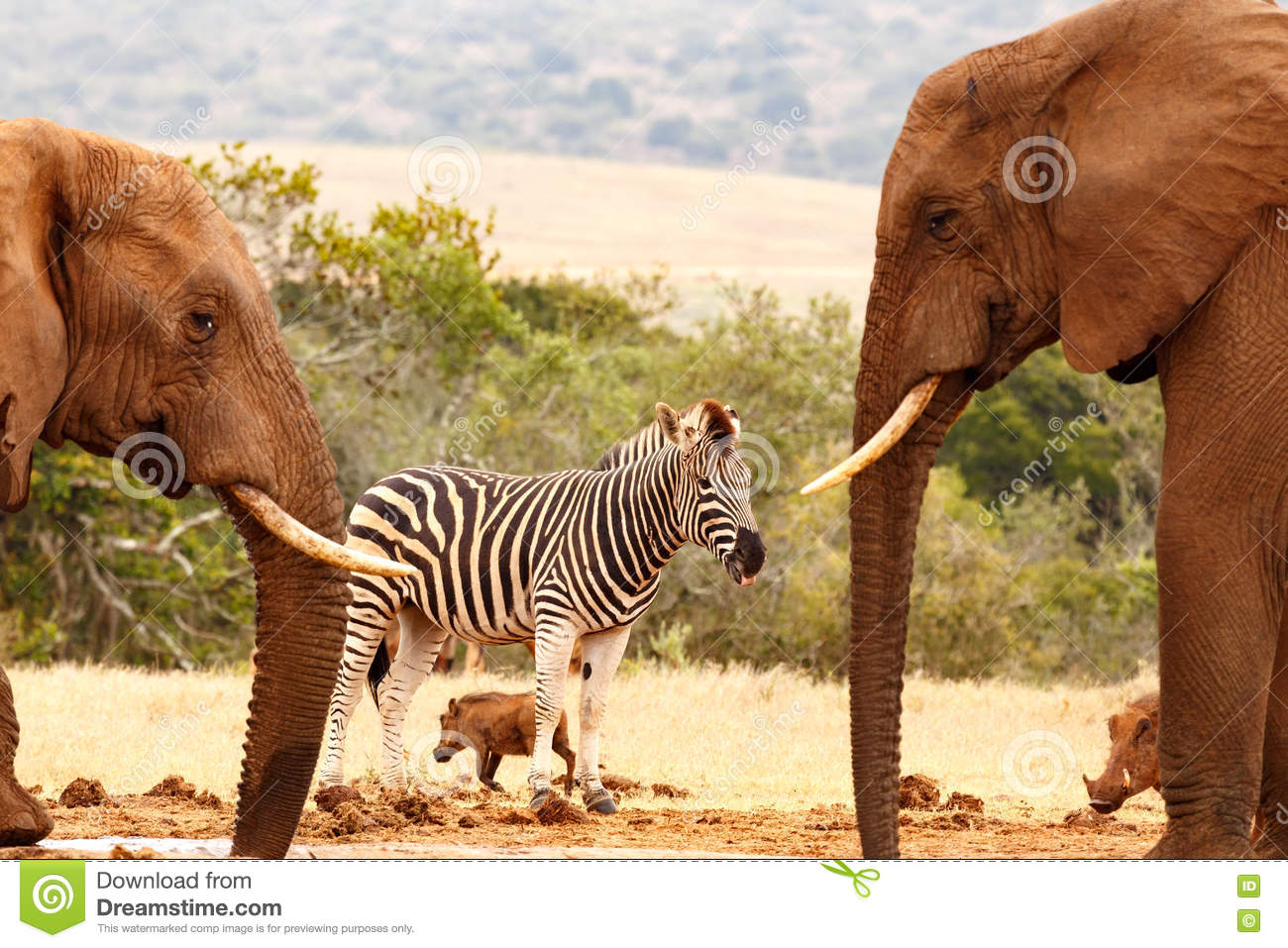 Bush elephants drinking water while a thirsty Zebra standing on