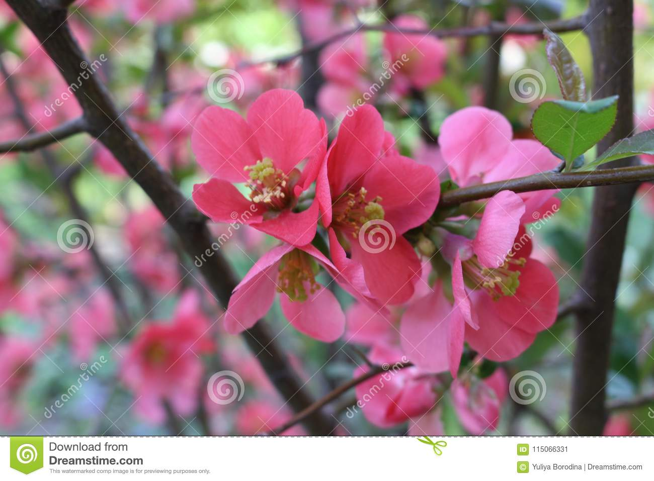 The bush flowered with pink flowers stock image image of sunny download the bush flowered with pink flowers stock image image of sunny flowered mightylinksfo