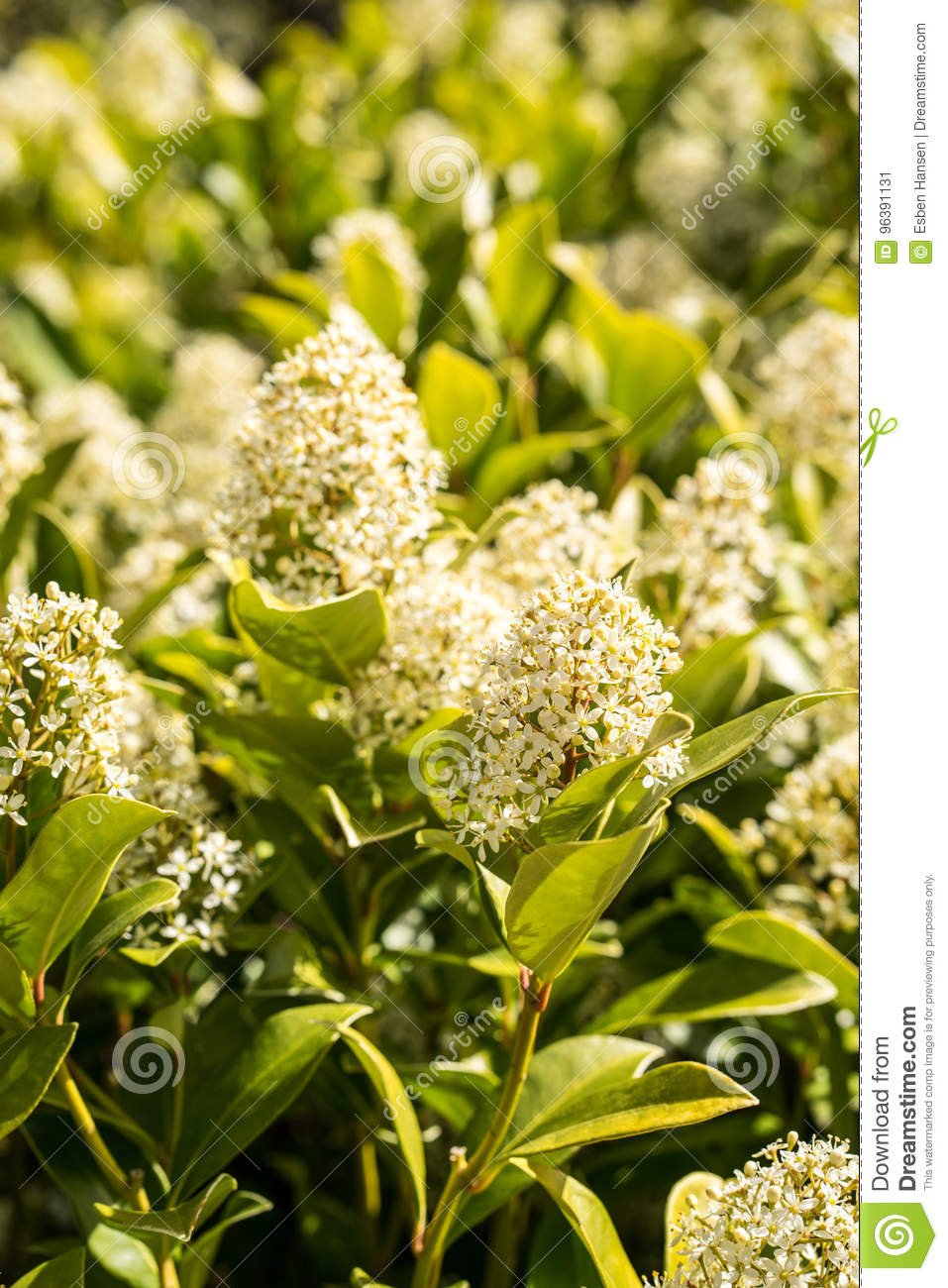 Bush Flowers With Small White Flowers Standing In The Spring Stock