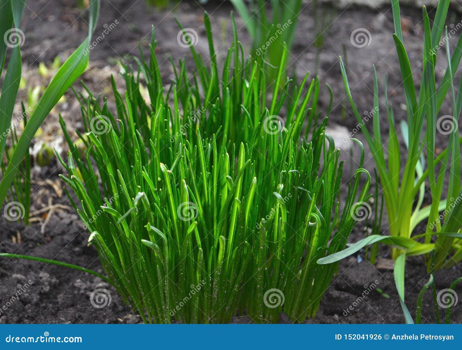 Bush green grass. Spring grass