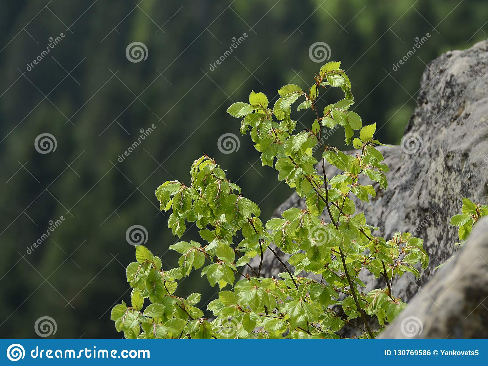 The bush with green succulent leaves grows on gray rocks overgrown with moss in Ukraine