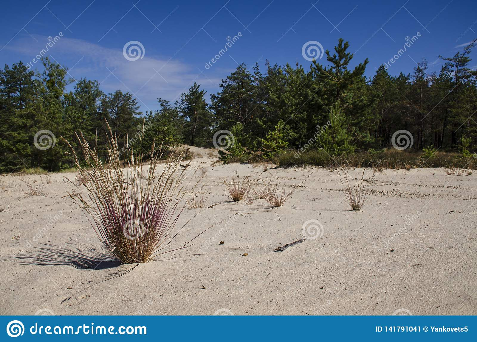 Bush herbs growing on the white sands of the desert next to the pine forest in the background of a blue sky