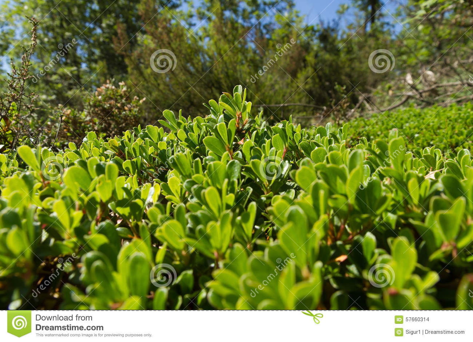 Bush i liścia Bearberry roślina