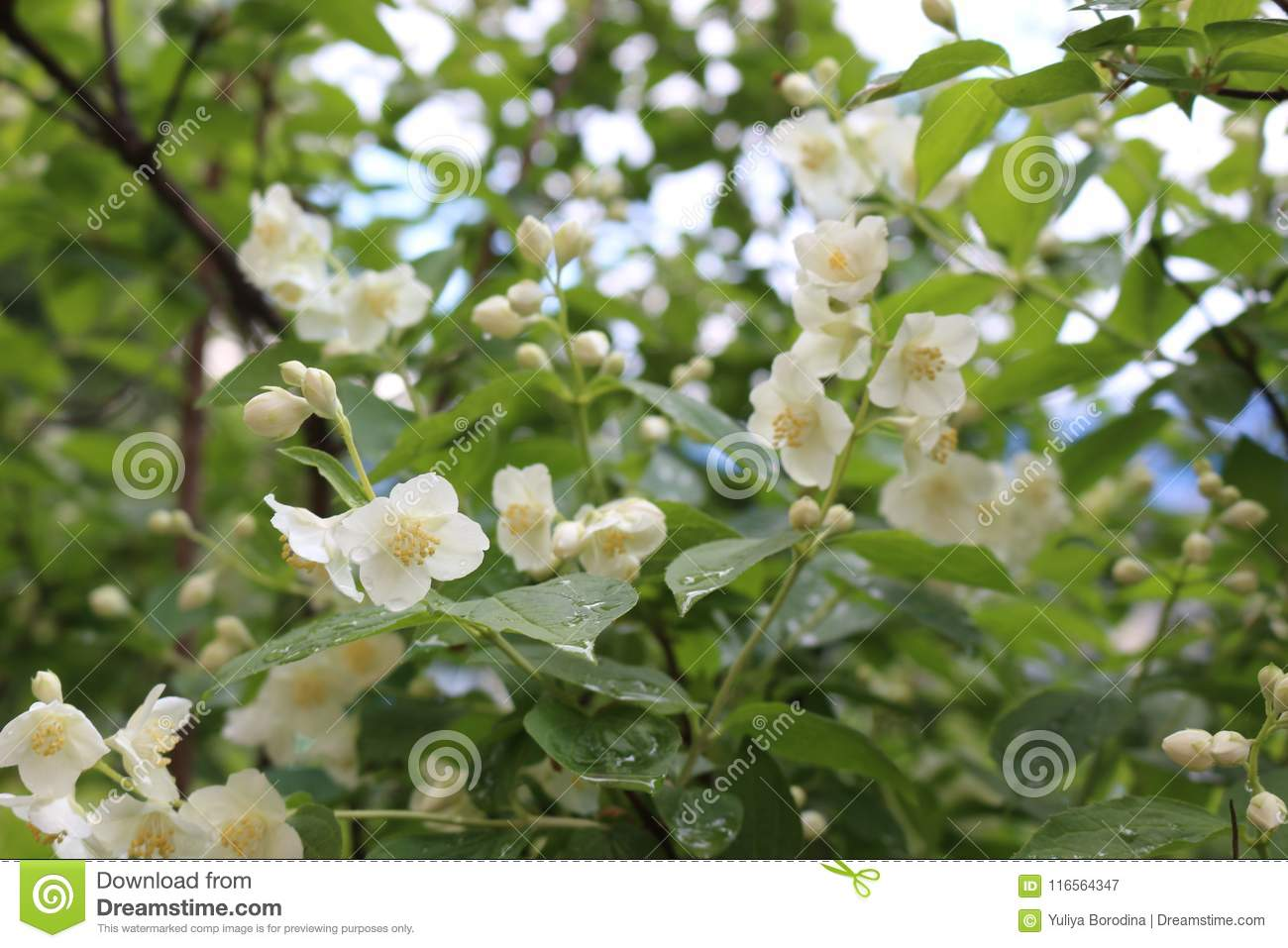 The Bush Of Jasmine Blossomed With White Fragrant Small Flowers