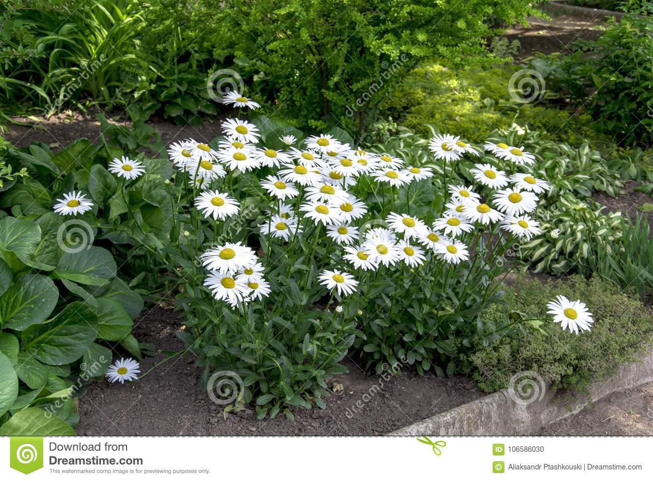 A Bush Of Large White Daisies In A Blooming Summer Garden Stock