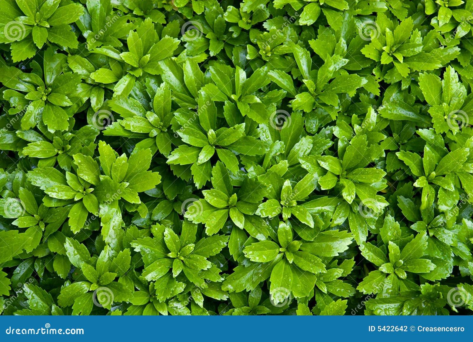 Bush Leaves Stock Photo Image Of Light Bush Leaf
