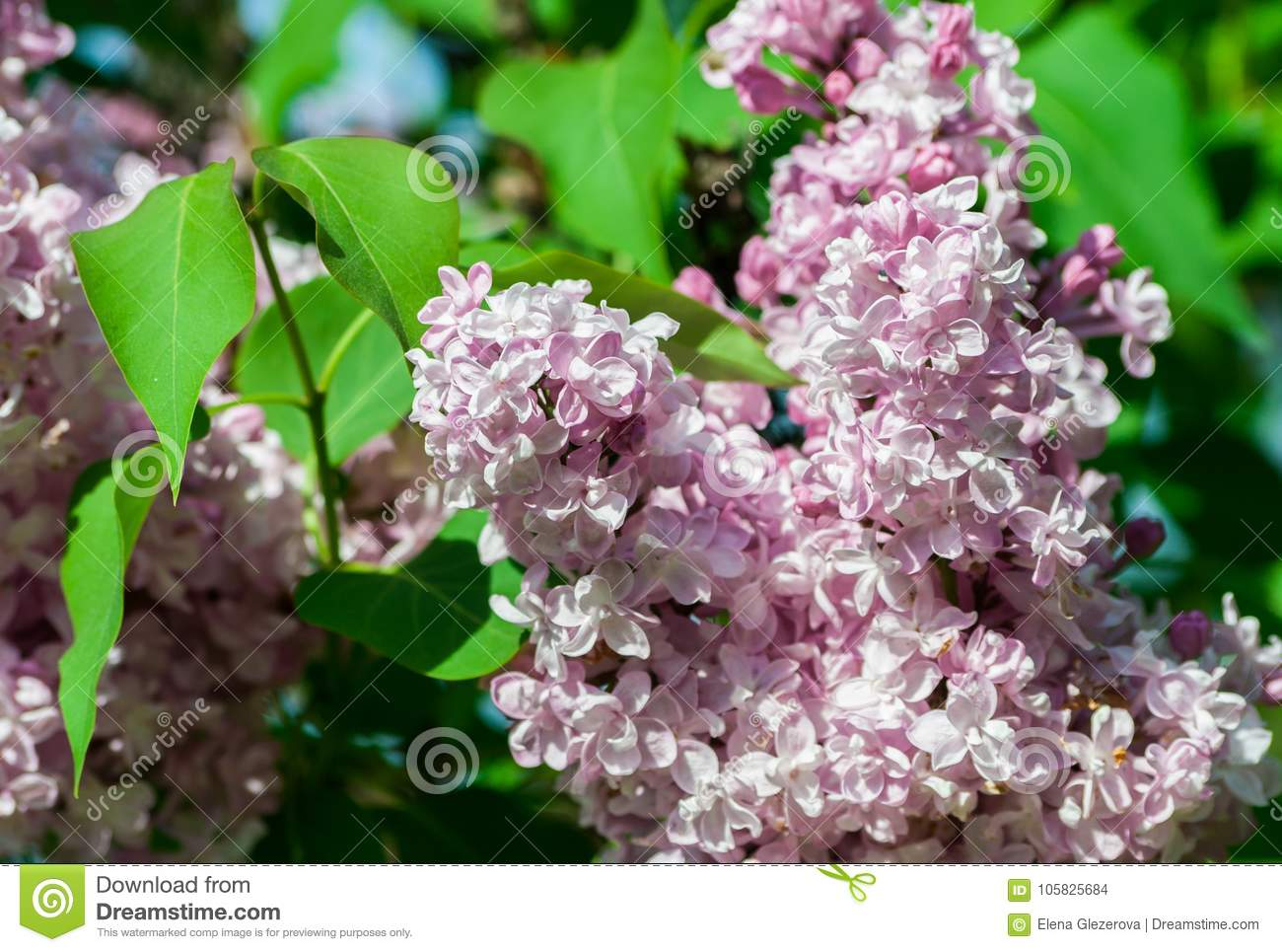 Bush Of Light White And Pink Terry Lilac A Cluster Of Flowers In