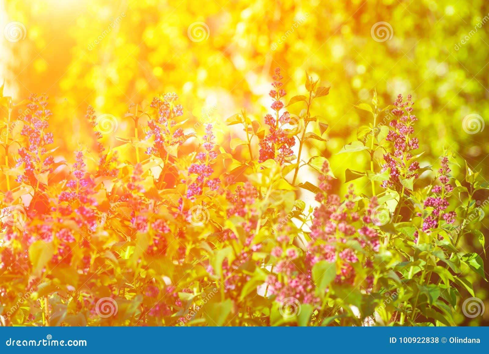 Bush lilás da folha verde vibrante roxa bonita dos galhos da flor das horas de verão da mola na luz solar dourada Forest Meadow T