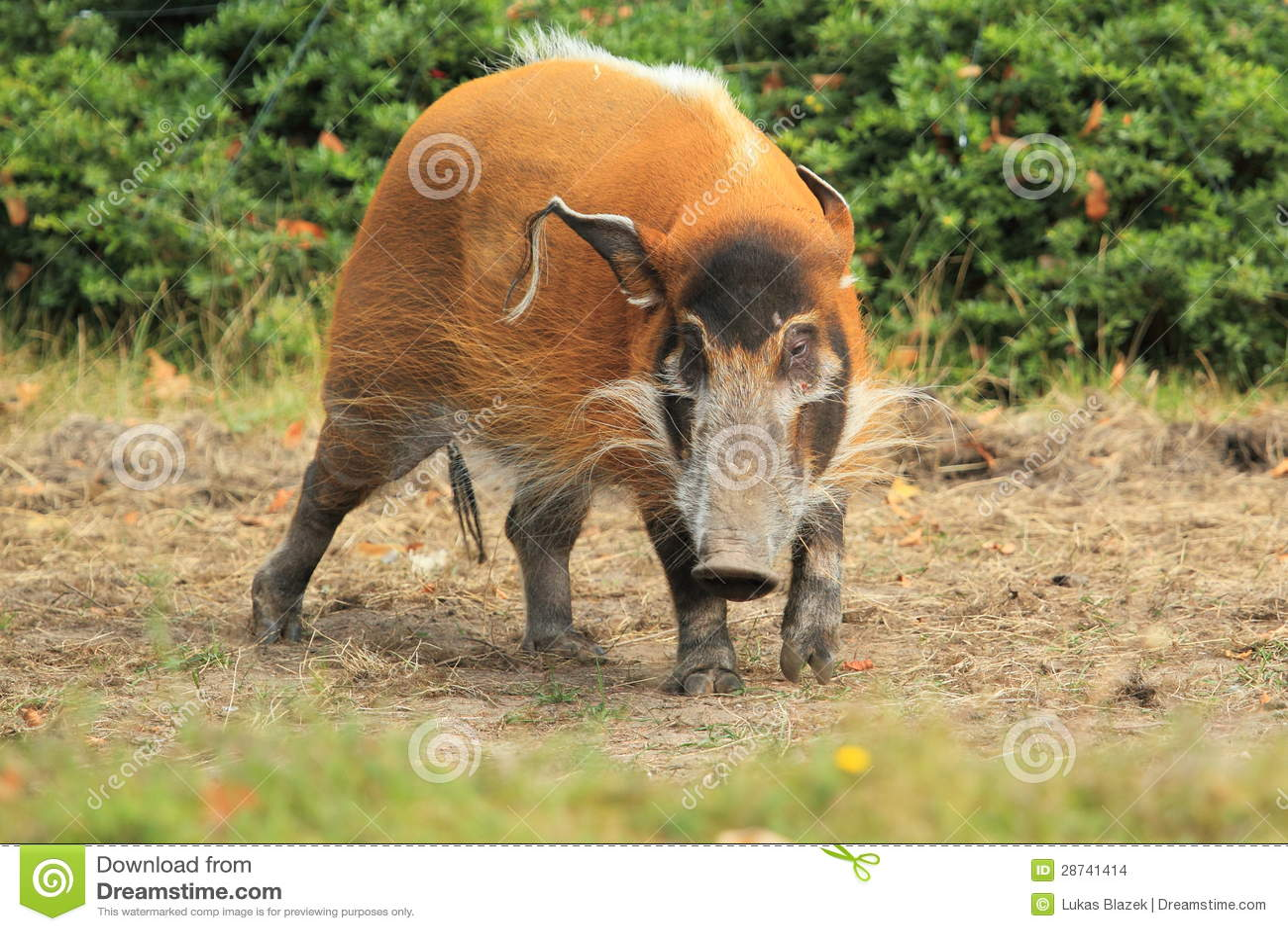 Bush Pig Stock Photo Image Of Bush Animal Grass Adult