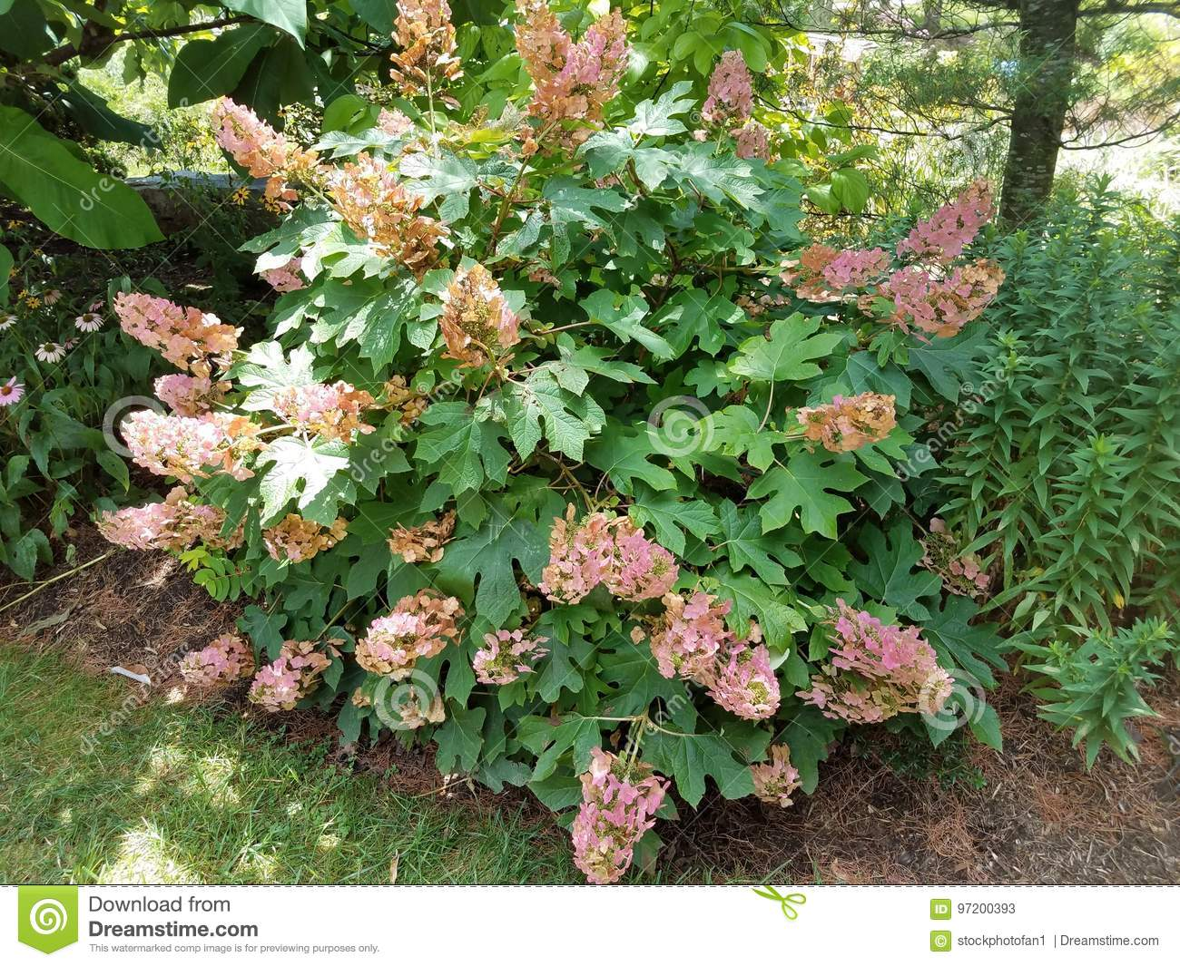 Bush with pink flowers stock image image of green spring 97200393 large bush with pink flowers and green leaves mightylinksfo