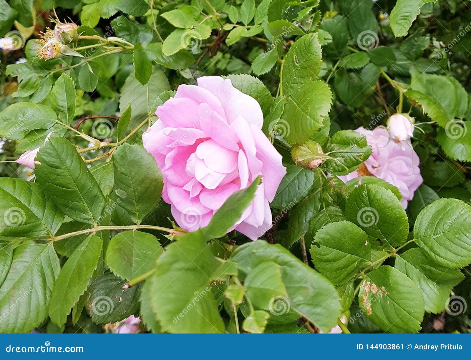 Bush pink rose in summer