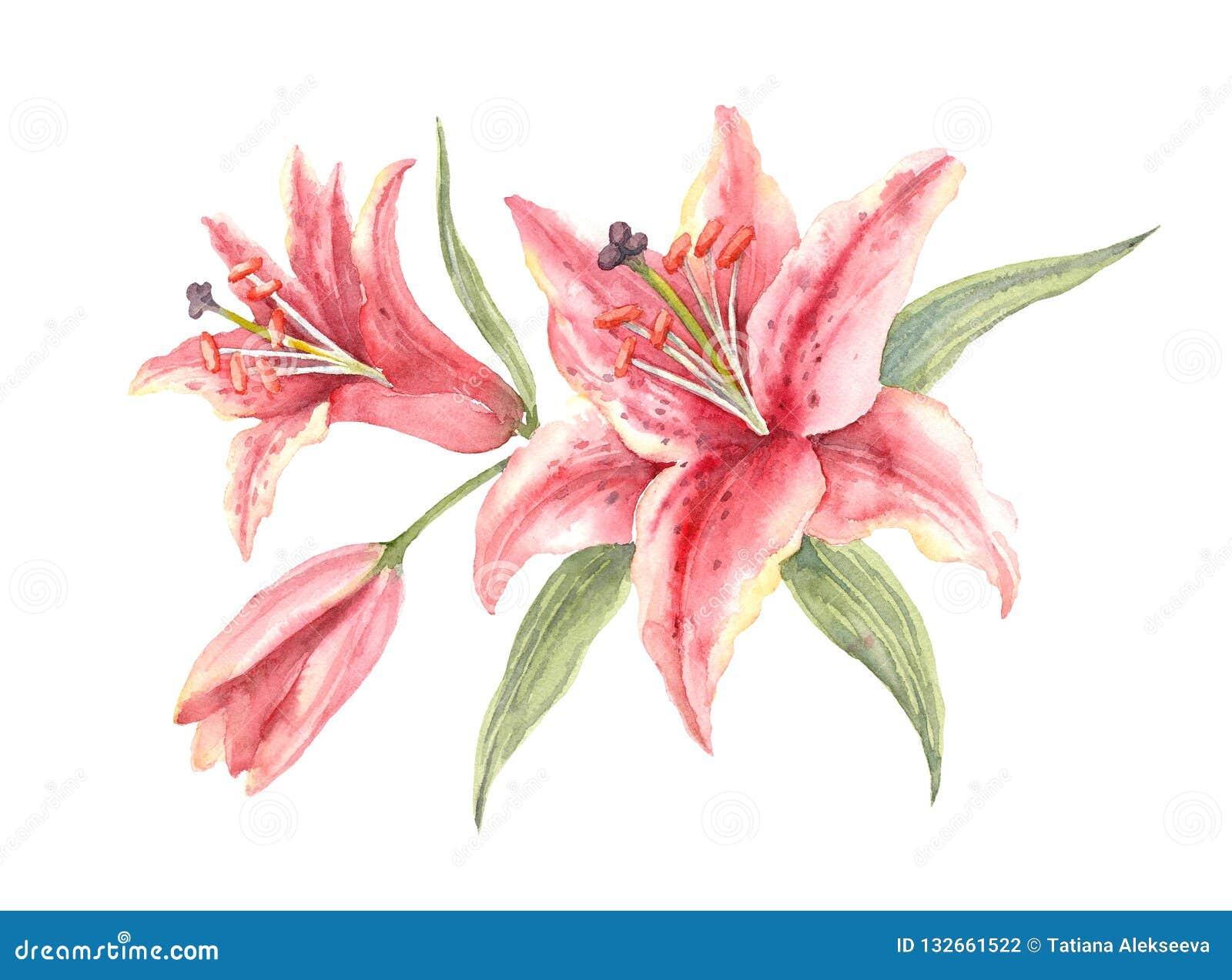 Bush Pink Stargazer Lilies on a white background