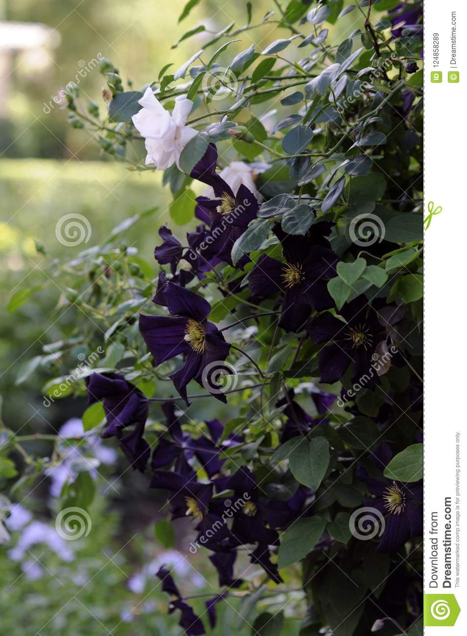 Bush With Purple And White Flowers Stock Image Image Of Purple
