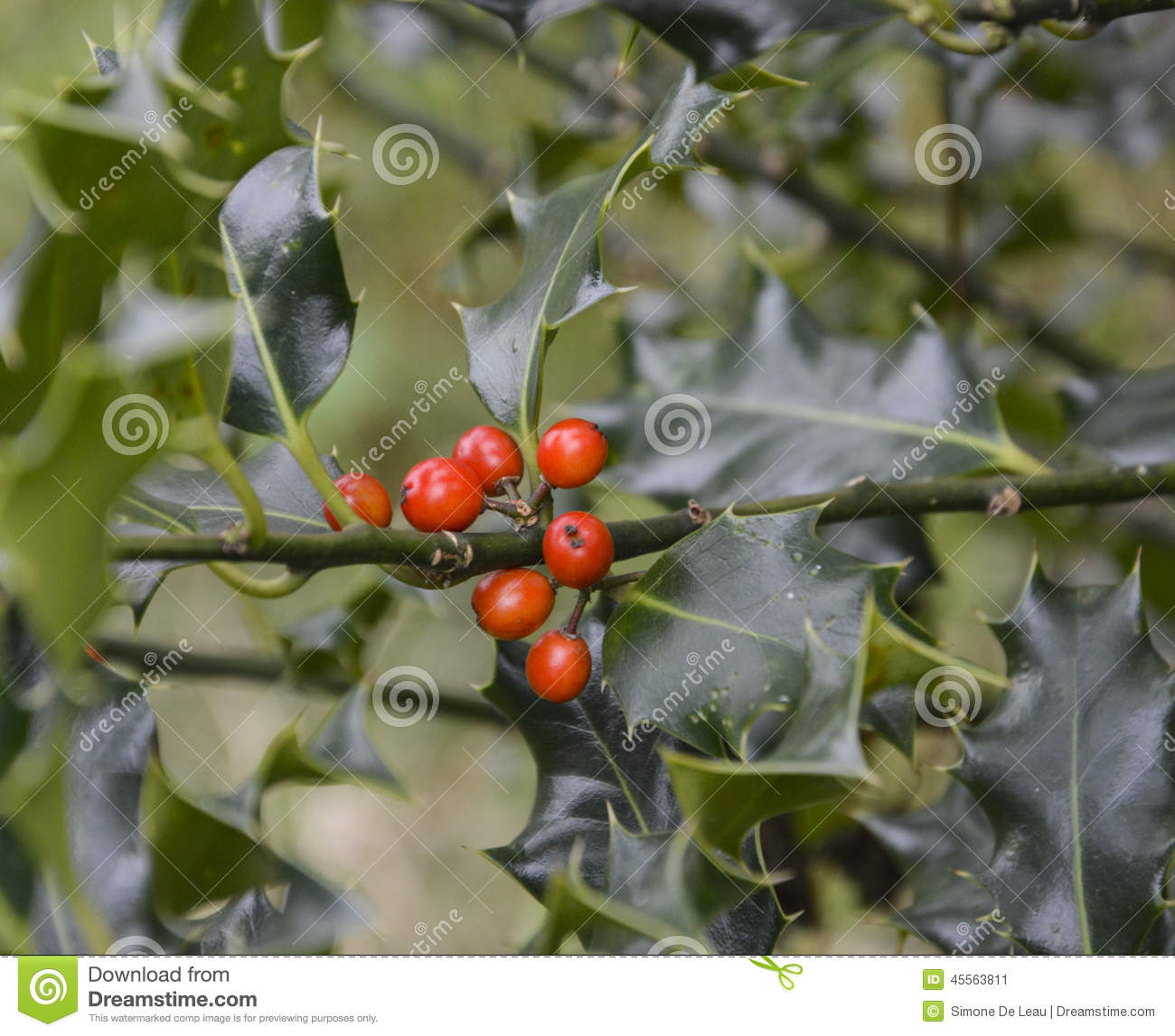 Bush With Red Berries And Green Spiky Leaves Stock Photo - Image ...