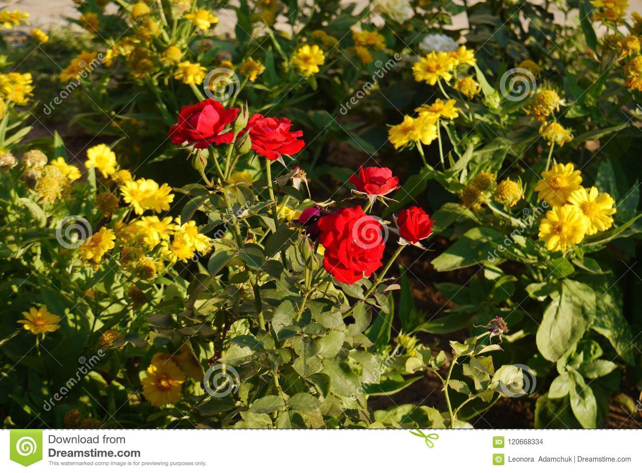 A Bush Of Red Roses Surrounded By Dahlia Flowers Which Are Called