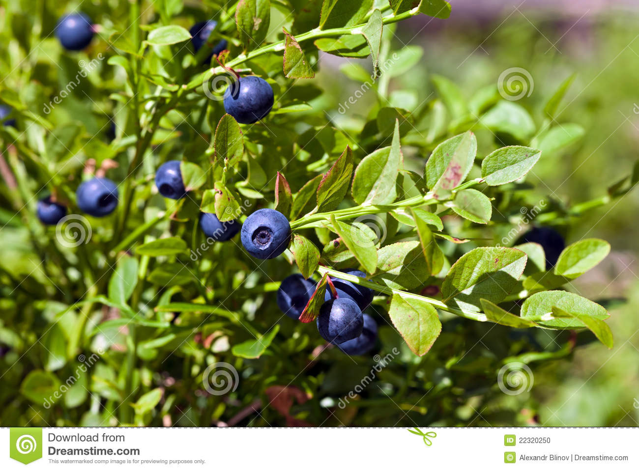 Red Huckleberry Bush