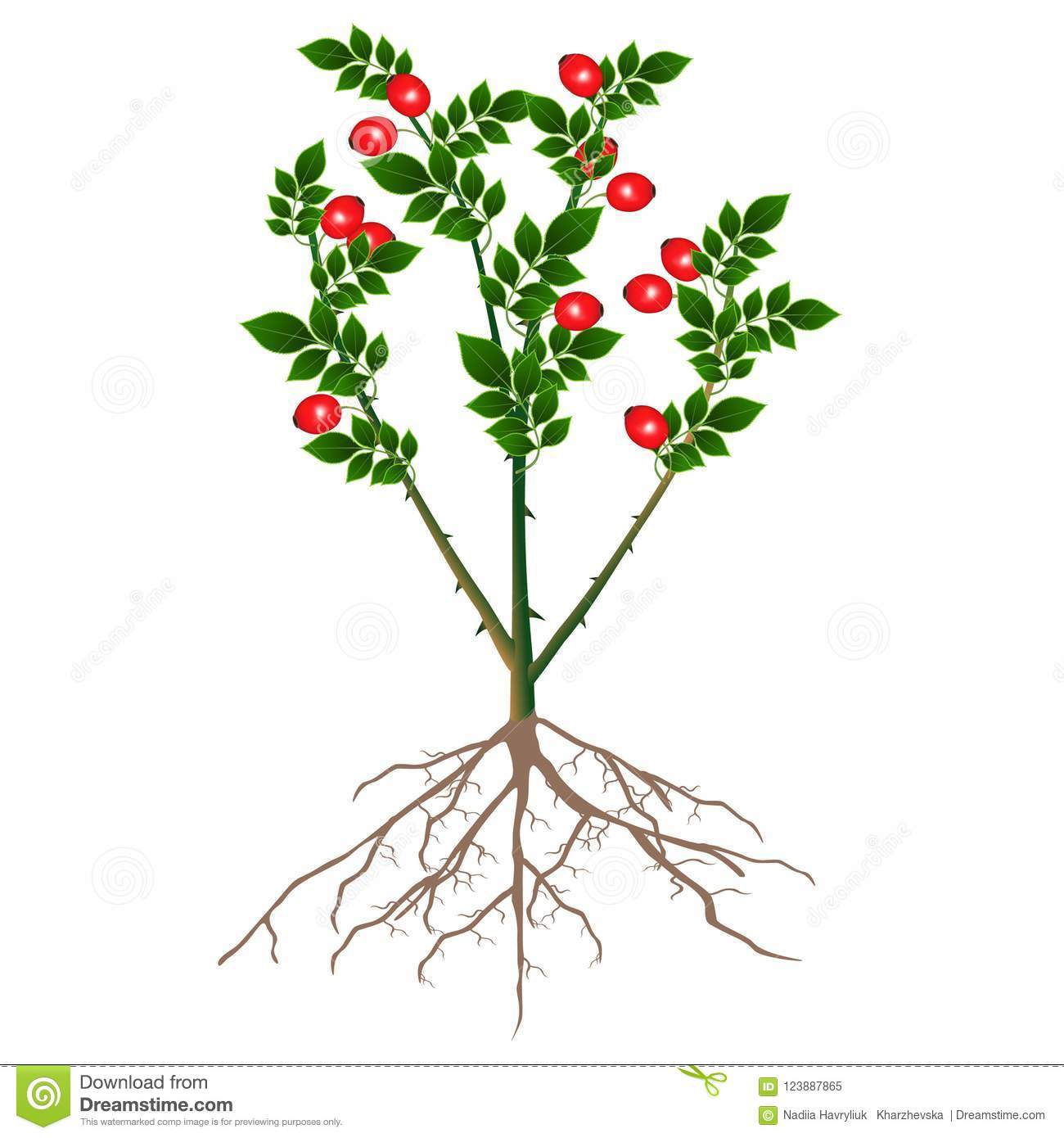 A Bush Rose Hips With Red Berries And Roots Isolated On White