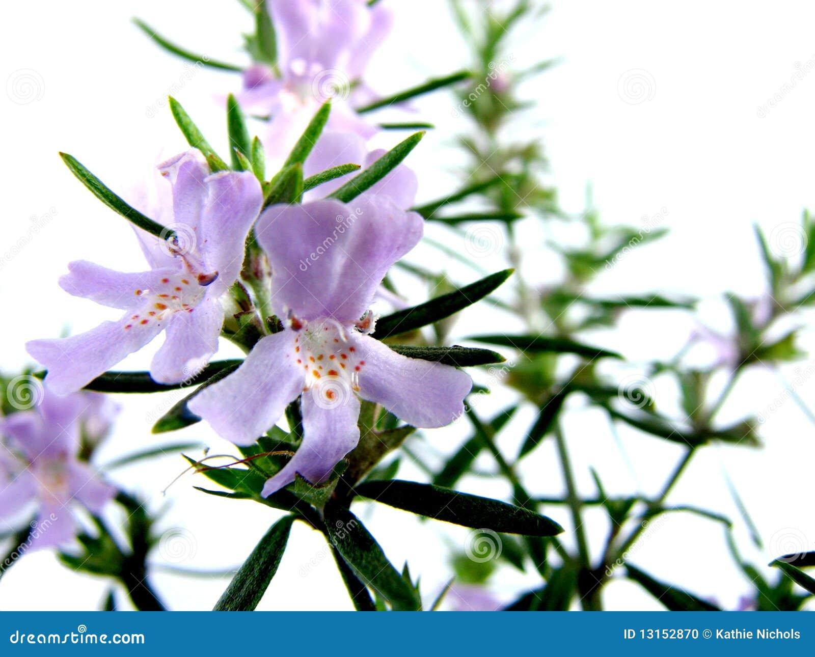 Bush Rosemary Flowers Stock Photo Image 13152870