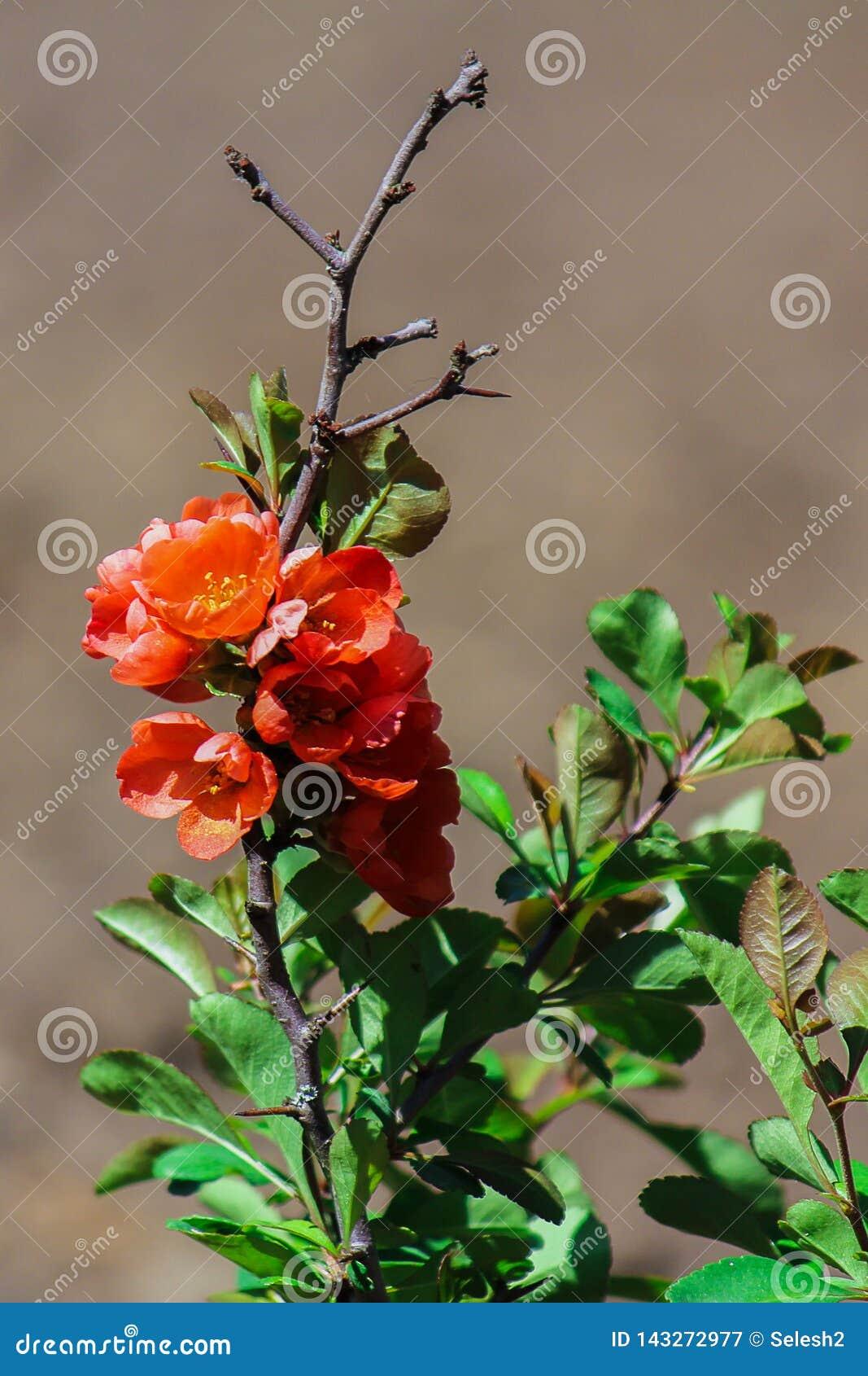 Bush rouge de floraison au printemps Fin vers le haut Le coing japonais