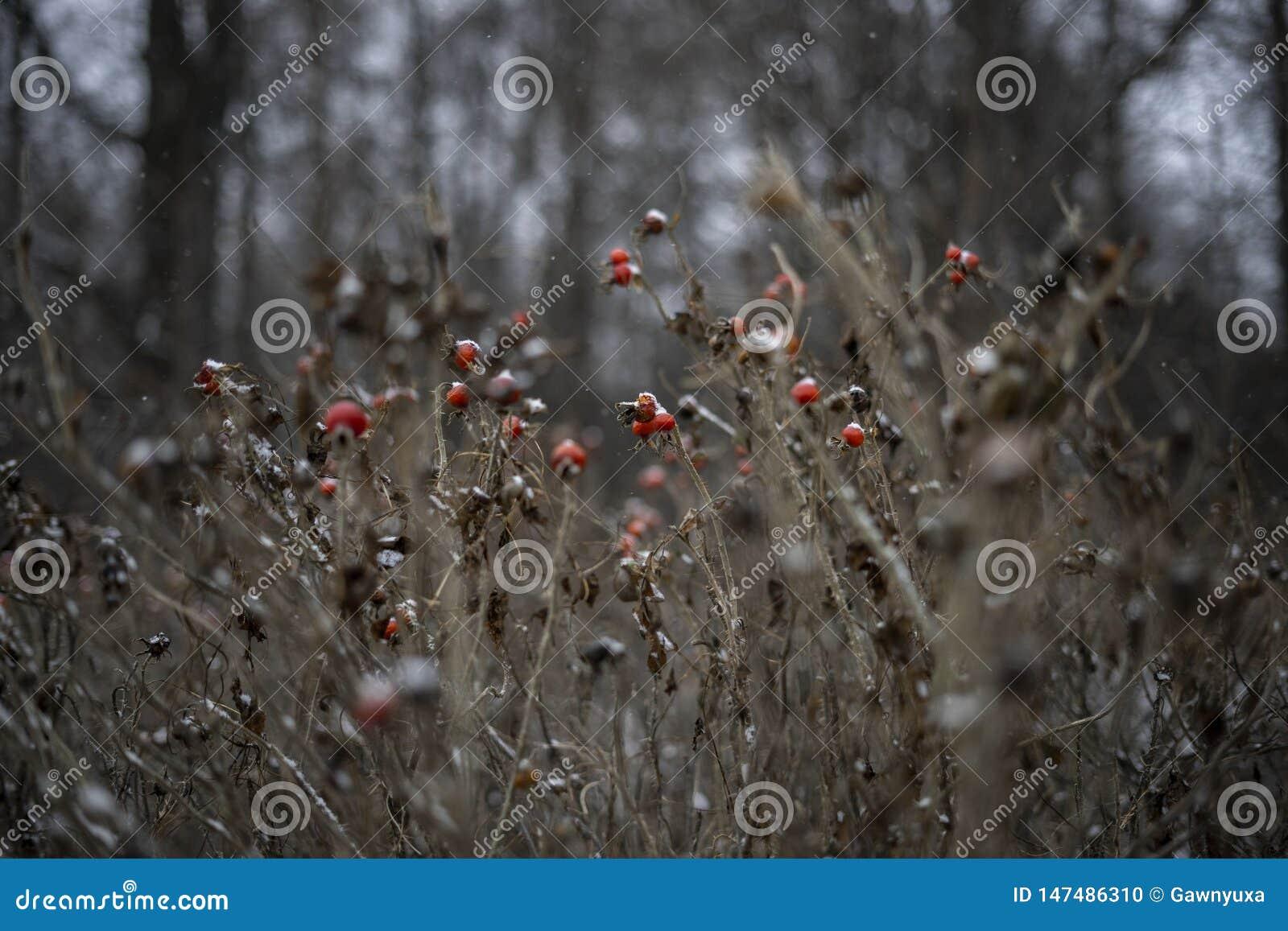 Bush s est lev? beaut? rouge de baies de neige d hiver de fille