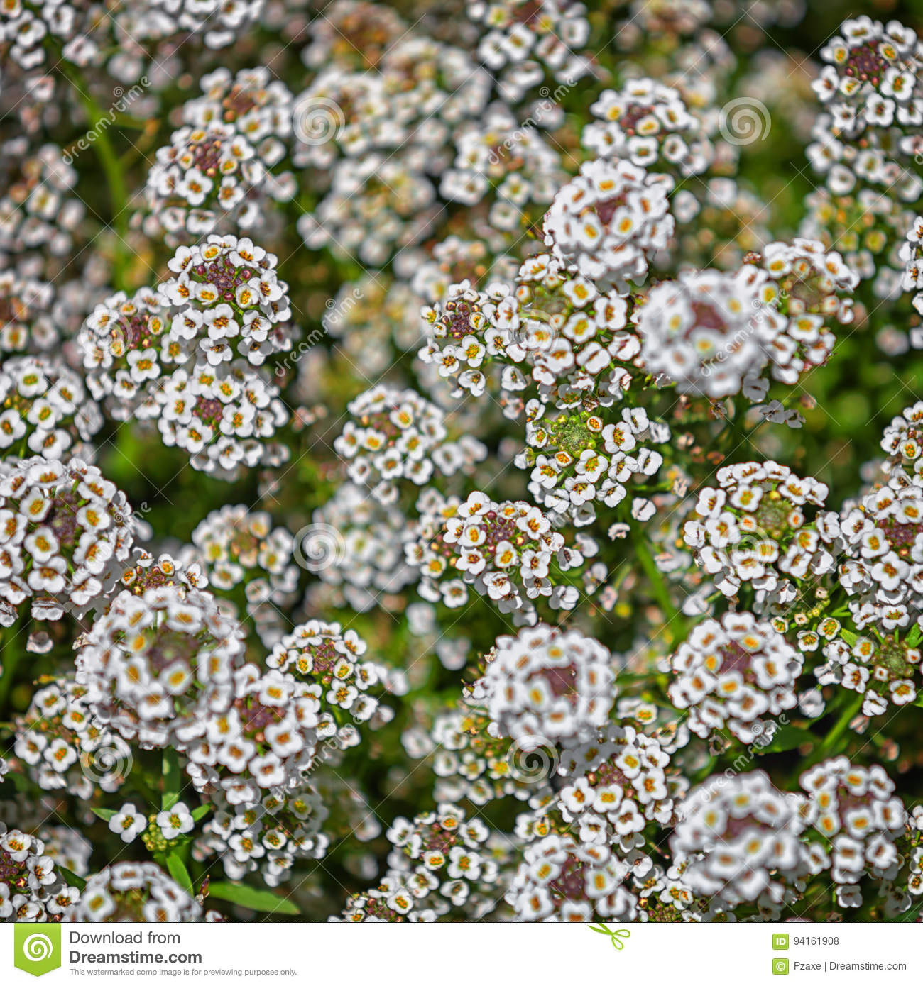 The Bush With Small White Flowers Stock Photo Image Of Leaves