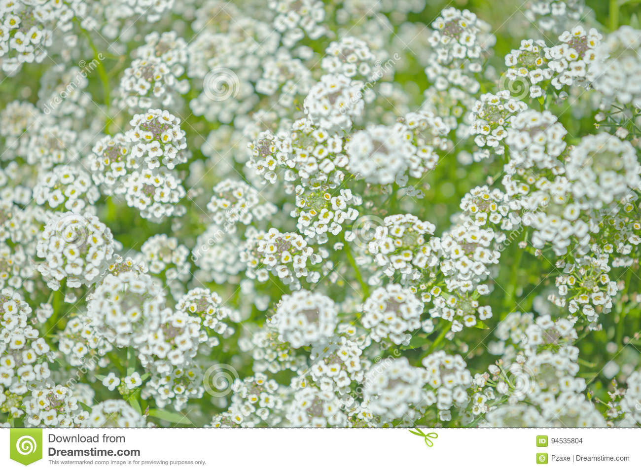 The bush with small white flowers stock photo image of many leaf download the bush with small white flowers stock photo image of many leaf mightylinksfo