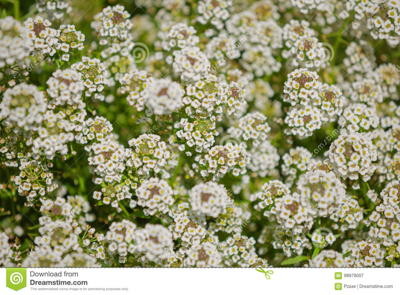 The Bush With Small White Flowers Stock Image Image Of Grass