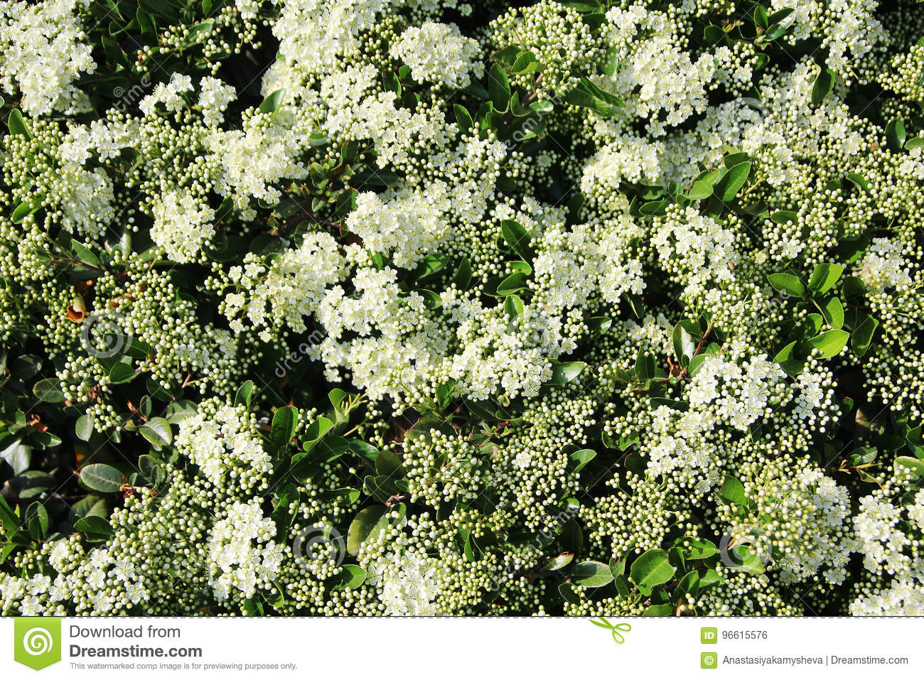 A bush with small white flowers forming background stock photo download a bush with small white flowers forming background stock photo image of blooming mightylinksfo