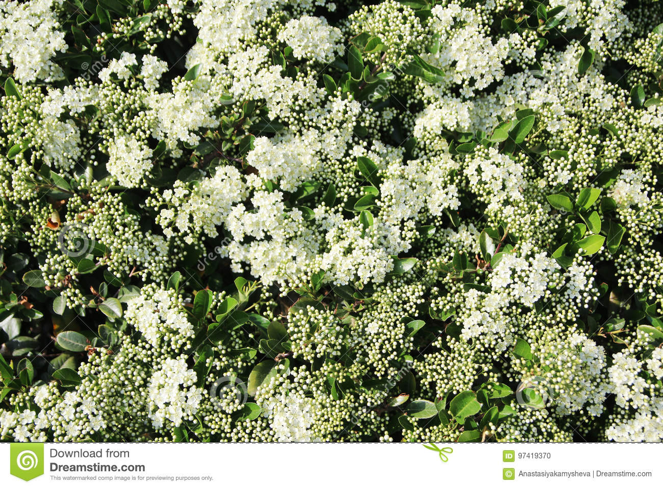 A Bush With Small White Flowers Forming Background Stock Photo