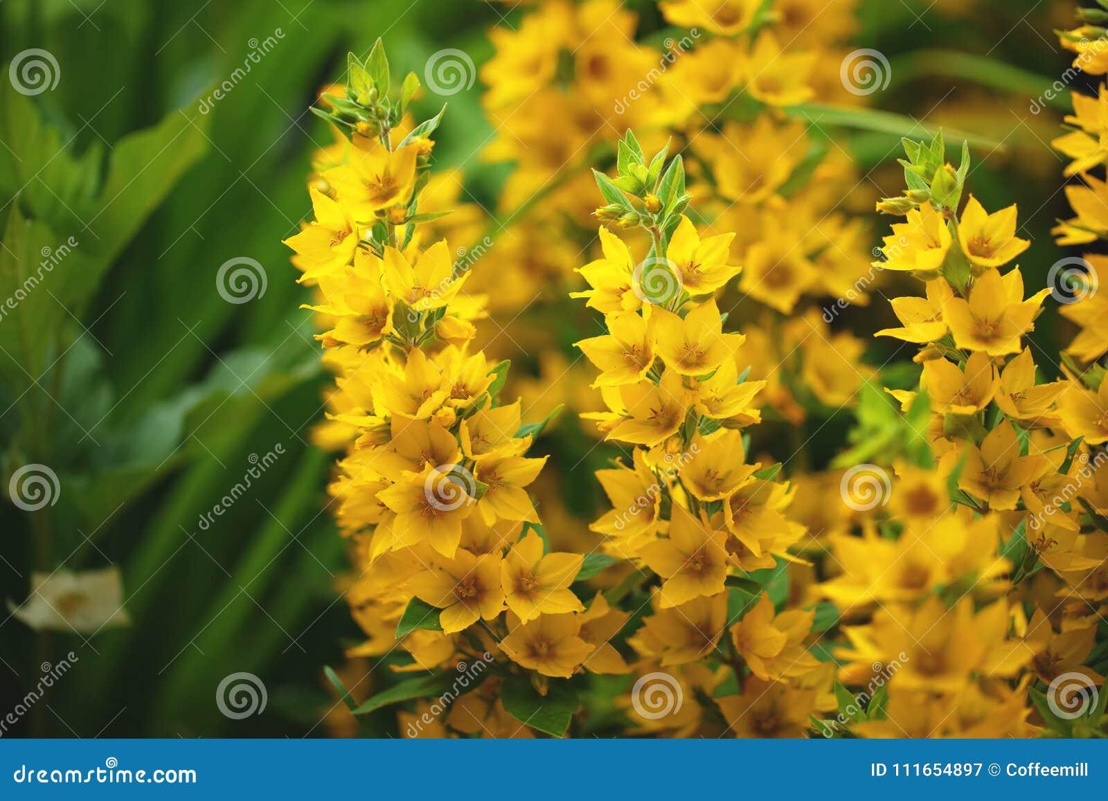 Bush small yellow flowers on background stock image image of many download bush small yellow flowers on background stock image image of many clean mightylinksfo