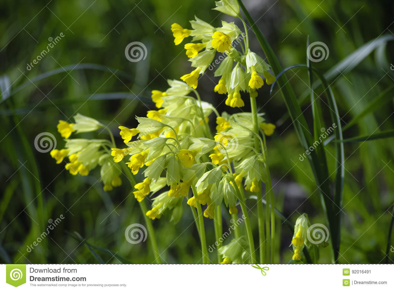 A bush of small yellow flowers in green grass stock image image download a bush of small yellow flowers in green grass stock image image of mightylinksfo