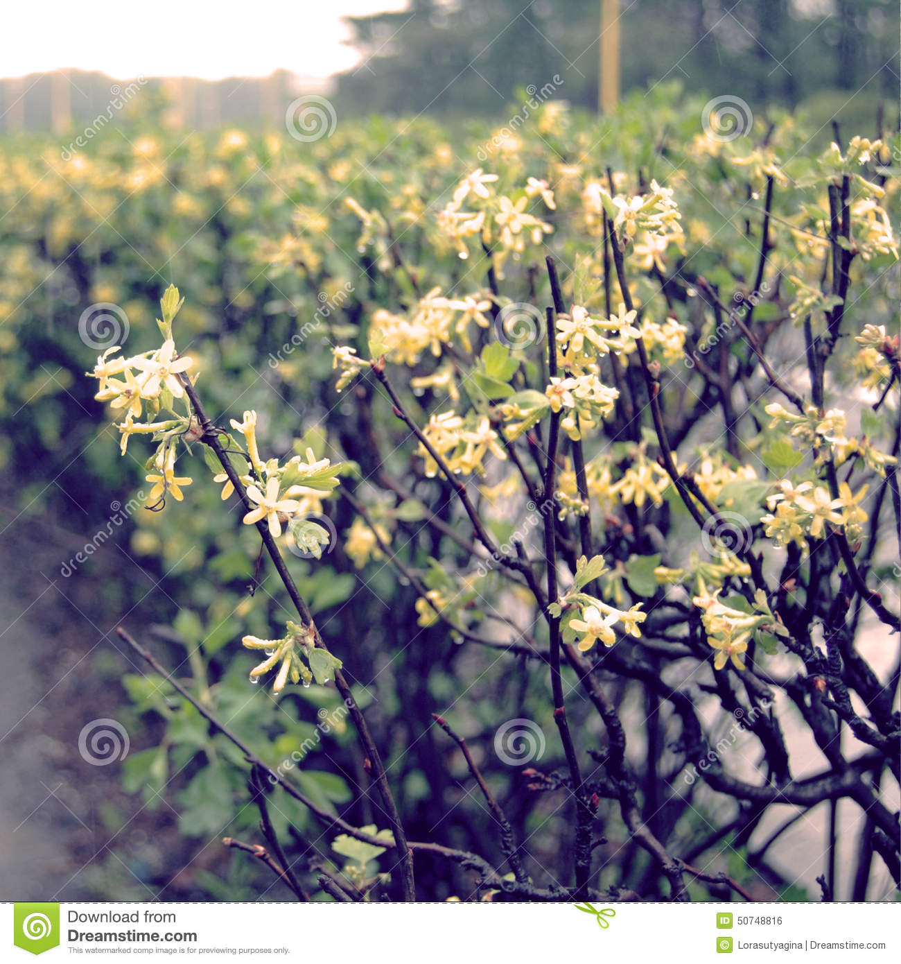 Bush with small yellow flowers in a spring time vintage effect download bush with small yellow flowers in a spring time vintage effect stock photo mightylinksfo