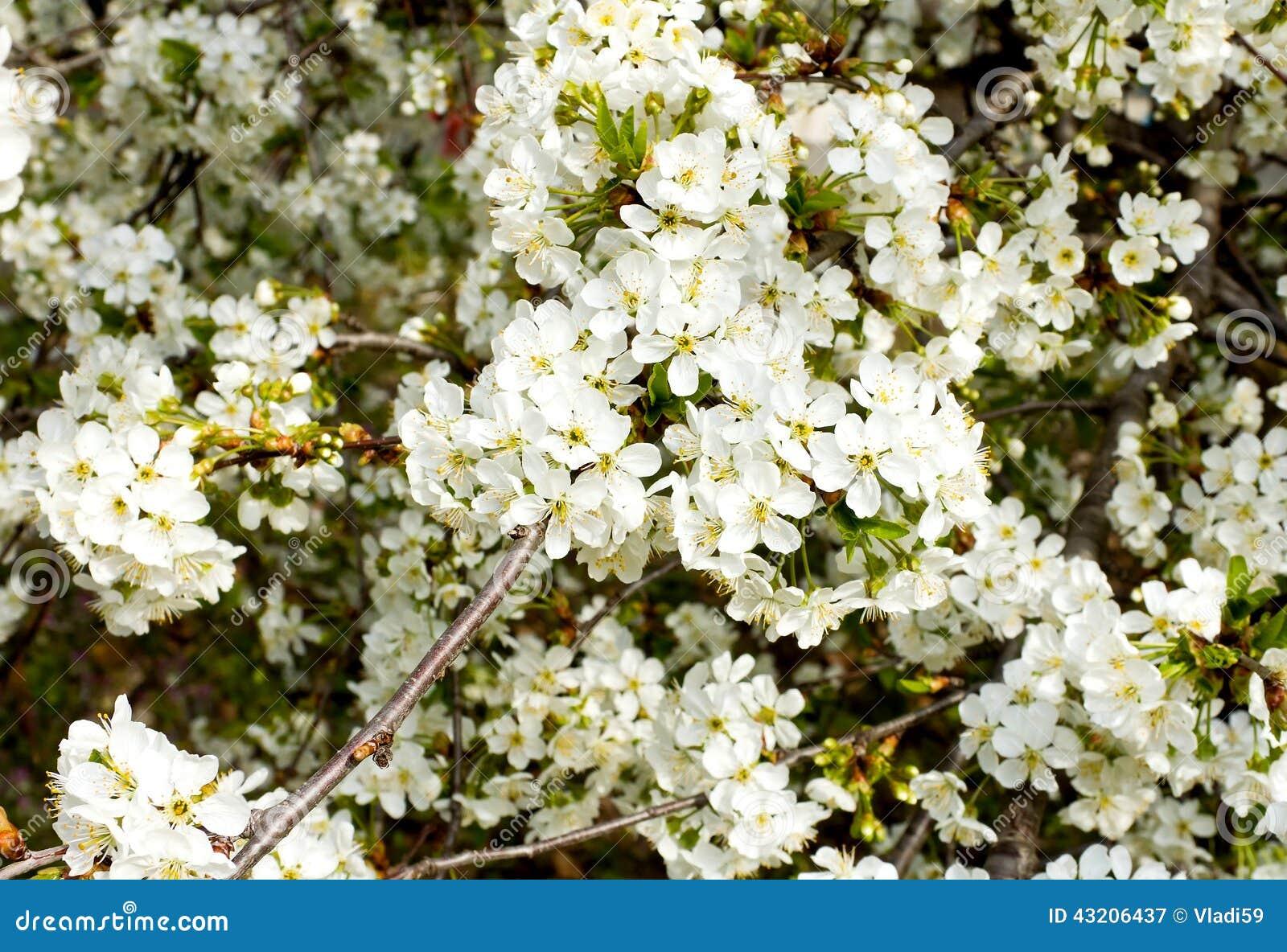 Download Bush Som Blomstrar Plommonet Fotografering för Bildbyråer - Bild av blomma, härlig: 43206437