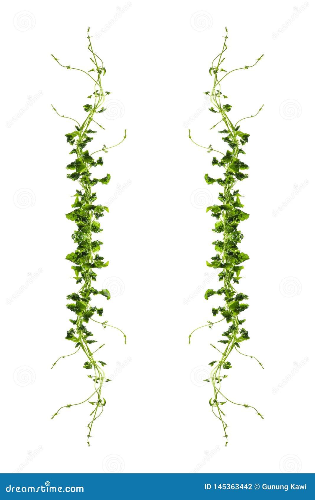 Bush-Traube oder drei-leaved wilder Rebe-cayratia Cayratia-trifolia Lianeefeubetriebsbusch, Naturrahmen-Dschungelgrenze lokalisie