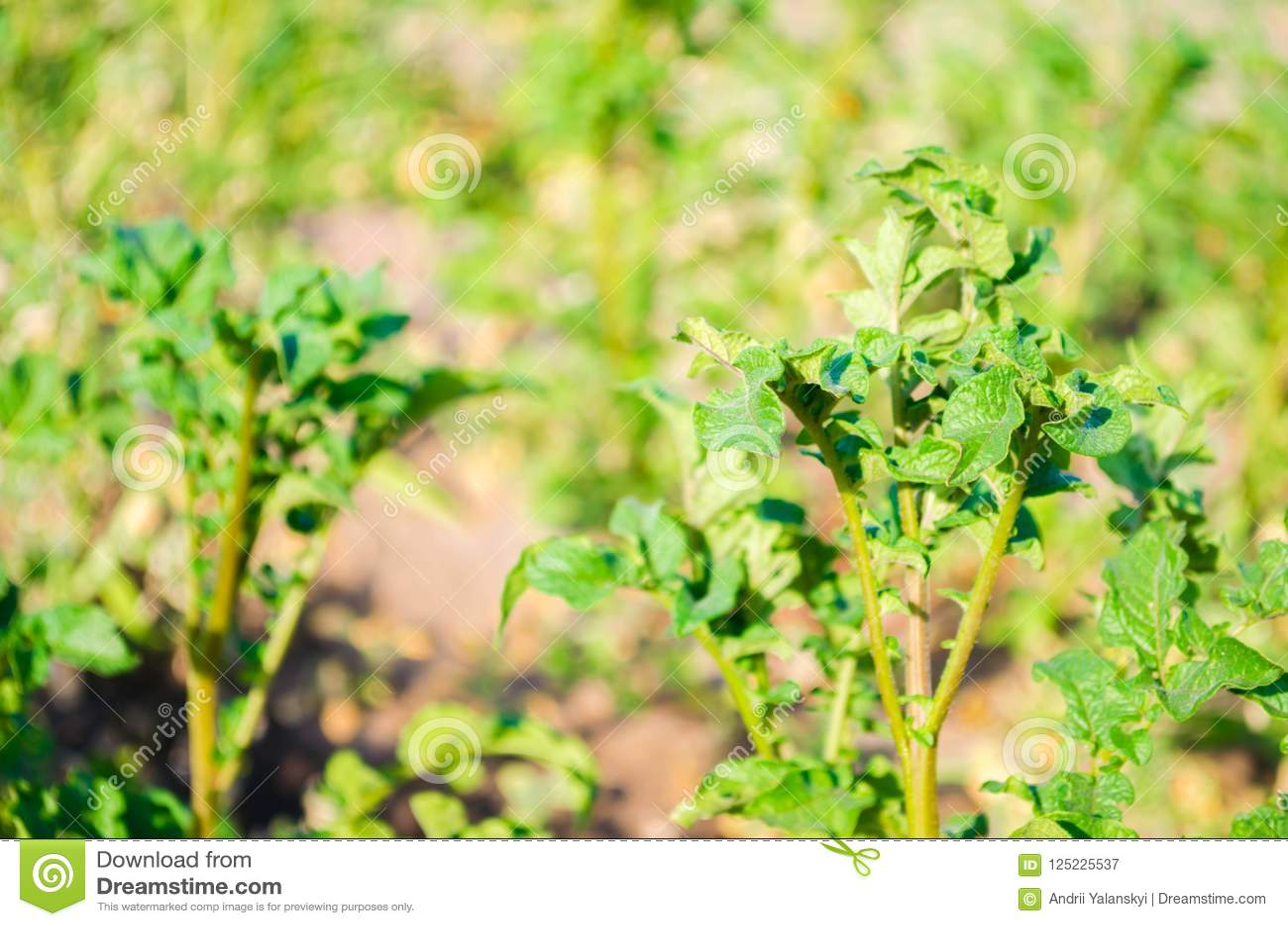 Bush växt av den unga potatisen som växer i fältet, lantbruk, jordbruk, grönsaker, eco-vänskapsmatch jordbruksprodukter, agroindu
