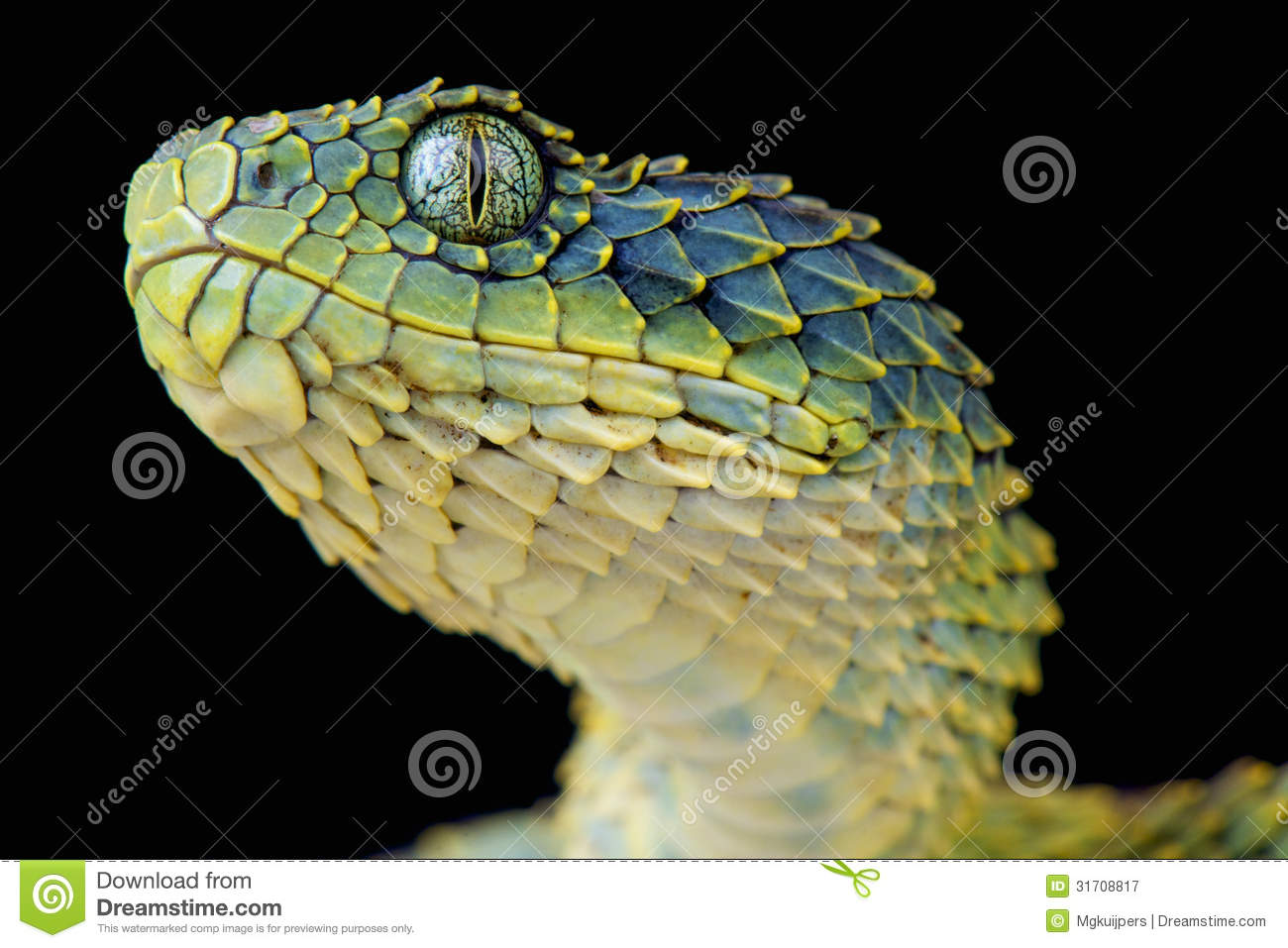 Bush Viper / Atheris Squamigera Stock Image - Image of viper