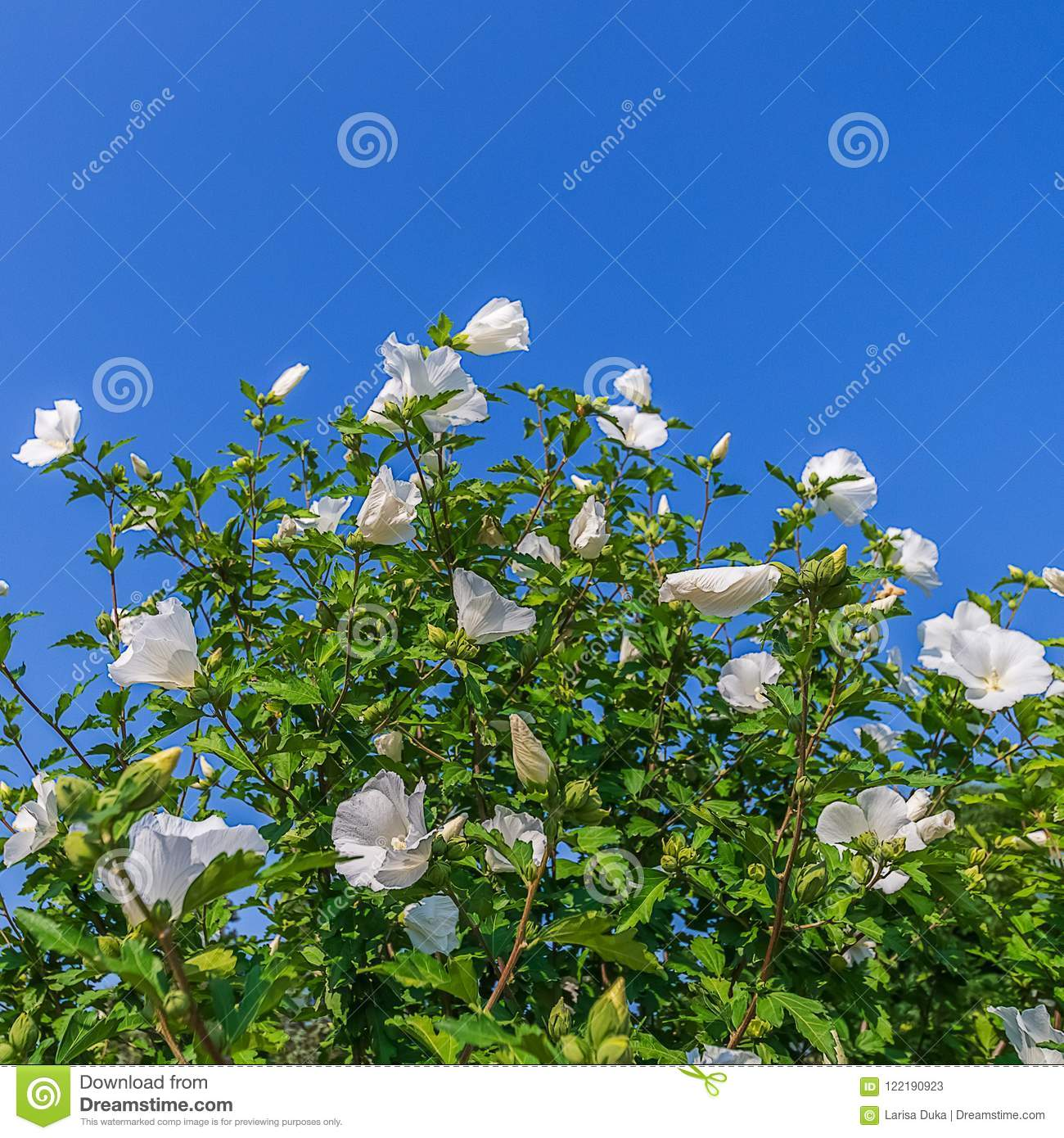 A Bush Of White China Rose Flower In A Garden Stock Image Image