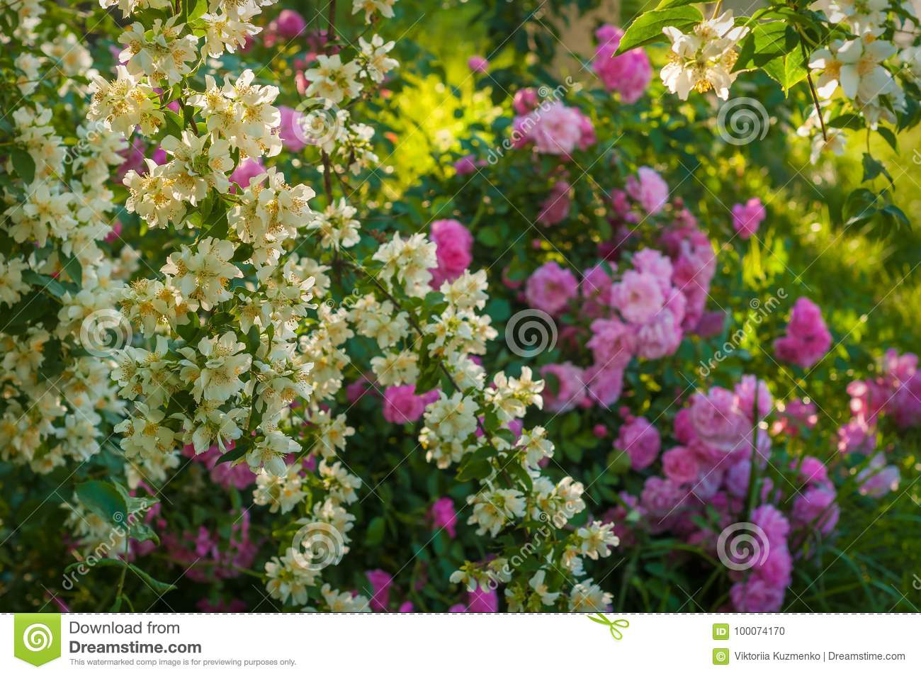 A Bush Of White Jasmine And A Pink Roses A Garden Arrangement Of