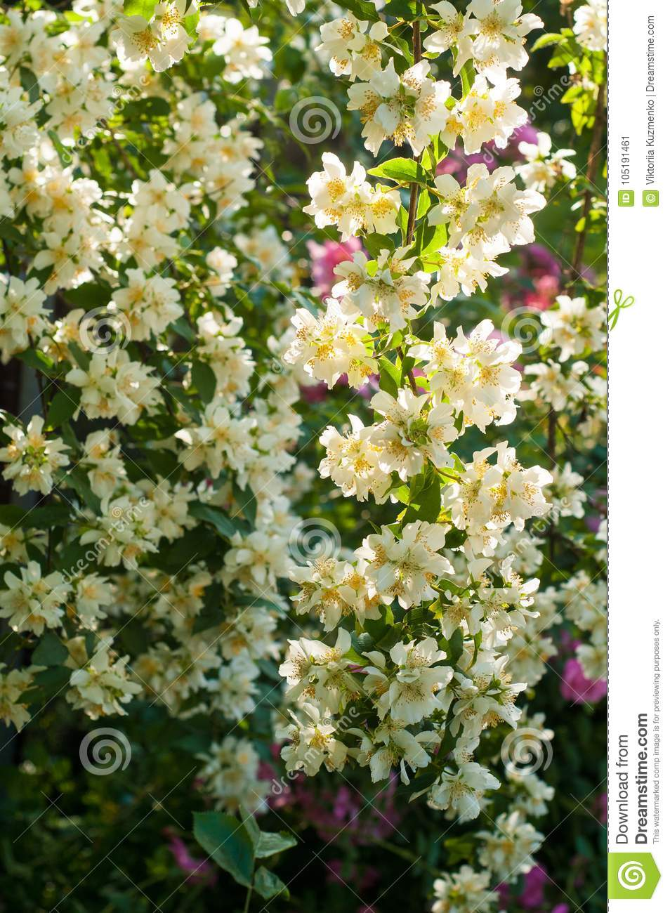 Bush of white jasmine and a pink roses a garden arrangement of royalty free stock photo izmirmasajfo