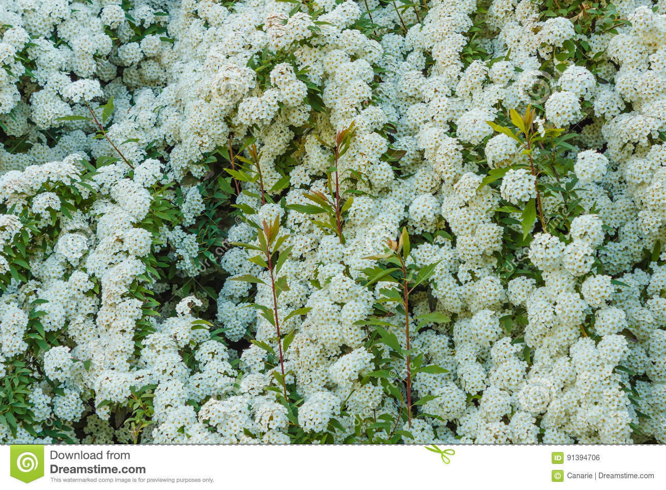 A Bush Of White Spirea Flowers Stock Photo Image Of Spring