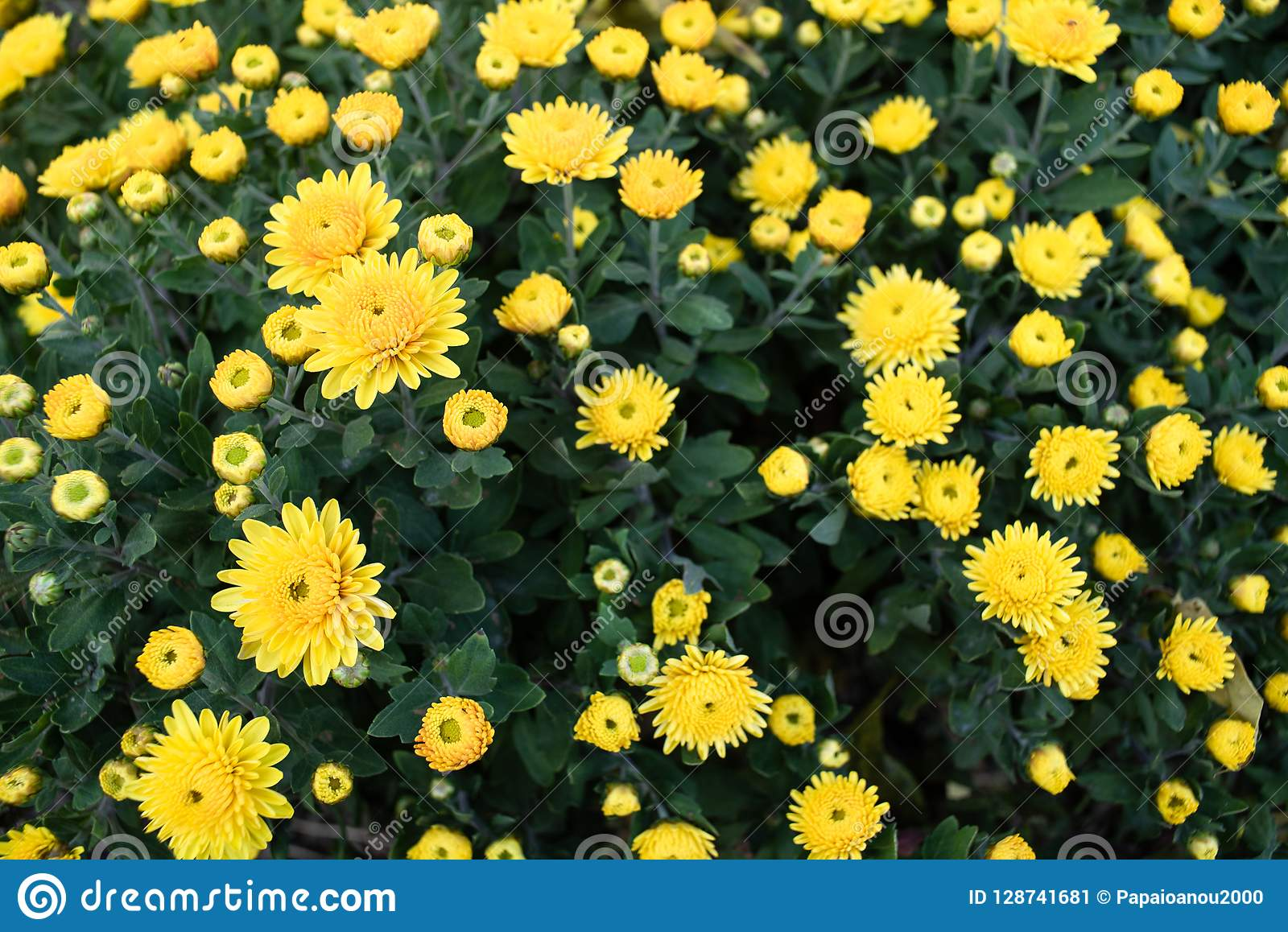 Bush with wild yellow flowers.