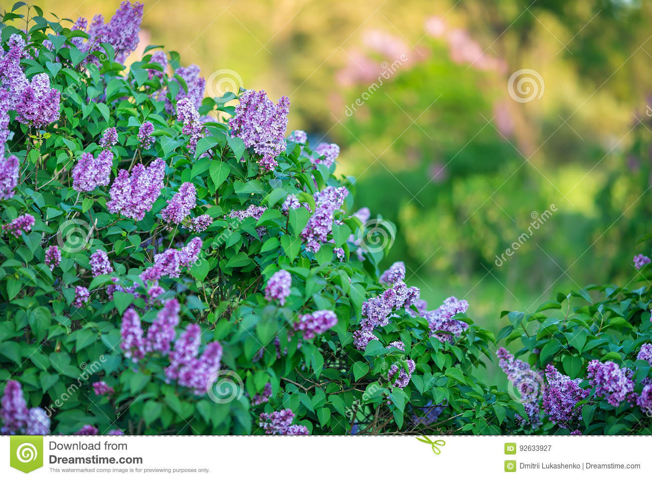 bush of wonderfull full of delicious scent flowers lilac purple and