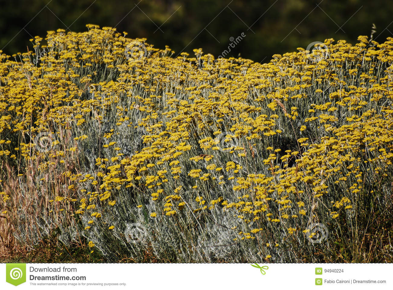 Bush Of Yellow Flowers Stock Photo Image Of Flowers 94940224